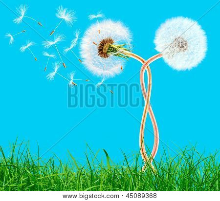 Overblown Braided Dandelions In The Grass On The Blue Sky