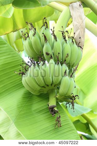 Banana Tree With Bunch Of Bananas
