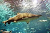 foto of gey  - A gey shark is swimming in the deep water