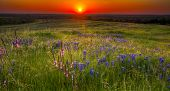 stock photo of bluebonnets  - Sun setting over a pastoral view of bluebonnets grasses and other flowers in Texas - JPG