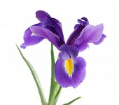 pic of purple iris  - Purple iris flower - JPG