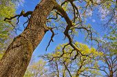 image of canopy  - Old large tree trunk and tree canopy in spring time over blue sunny sky low angle shot - JPG