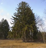 picture of marlboro  - A large pine tree in Big Brook Park Marlboro New Jersey - JPG