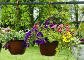 stock photo of petunia  - Hanging baskets with petunia flowers hanging in a garden - JPG