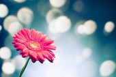 gerbera flower on shiny bokeh background