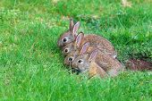 stock photo of rabbit hole  - Young rabbits coming out of their hole in the back yard - JPG