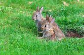 picture of rabbit hole  - Young rabbits coming out of their hole in the back yard - JPG