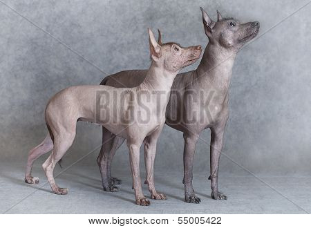 Mexican Xoloitzcuintle Dogs