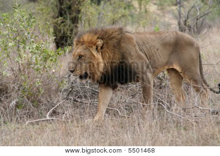 African Lion im Kruger-Nationalpark