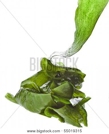seaweed kelp ( laminaria ) heap hill  close up isolated on white background