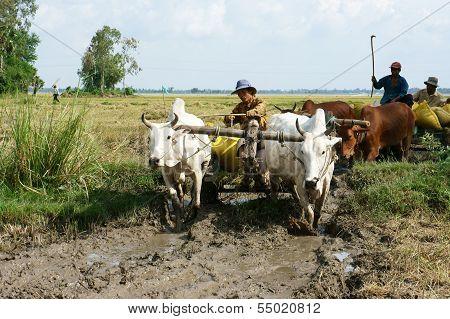 Buffalo Cart Transport Rice That Just Harvest