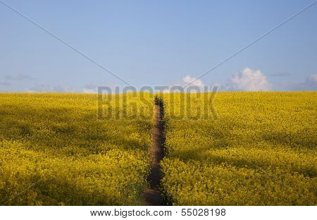 Field Of Flowers With Path