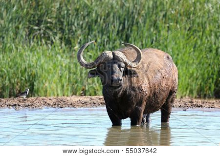 Cape Buffalo In Water Pool