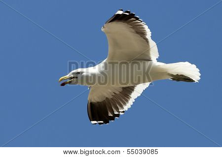 Kelp Gull On The Wing