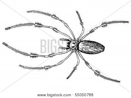 Vector drawing of a big spider