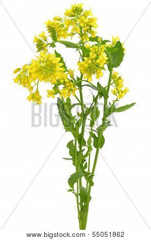 Barbarea Vulgaris Flowers
