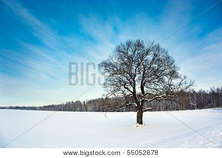 Bare Oak Tree in the Snowy Field