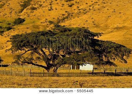 Big Sur Cypress Tree