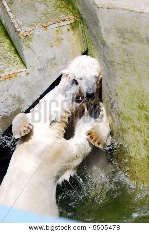 Two Curious Large Polar Bears