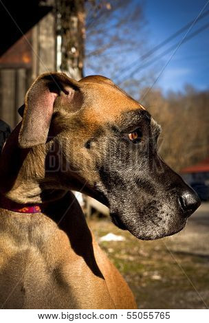 Side view of great dane