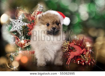 Pomeranian spitz wearing a santa hat
