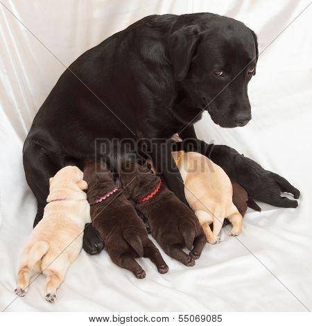 Labrador Retriever Puppies And Mom
