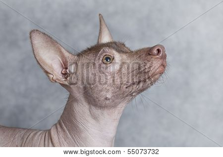 Portrait Of Xoloitzcuintle Dog, Closeup, Grey Background