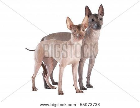 Mexican Xoloitzcuintle Dogs Isolated On White