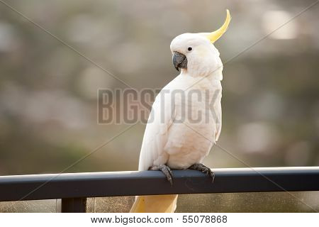 White Lorikeet Bird Standing On A Bar