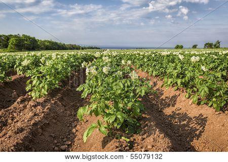Potatoes plants growing in a field in rural Prince Edward Island.