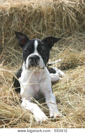 Boston Terrior On Hay