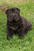 picture of shar-pei puppy  - Adorable Shar Pei puppy looking at you in the garden - JPG