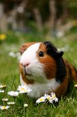 stock photo of guinea pig  - a guinea pig or cavy sitting in a spring field with flowers