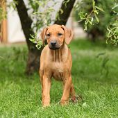 Rhodesian Ridgeback Puppy In The Garden