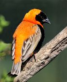 Bishop Weaver Bird