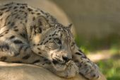 stock photo of panthera uncia  - Endangered Snow Leopard resting on a rock - JPG