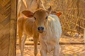 image of caw  - Beautiful calf of a Typical types of cows bred in rural area - JPG