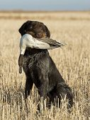 foto of pintail  - A Hunting dog with a Drake Pintail - JPG