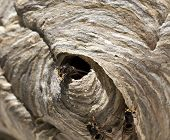 picture of hornets  - Wasp around its nest, hornet