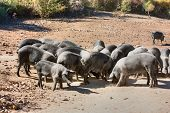 picture of pig-breeding  - livestock of cinta senese - JPG