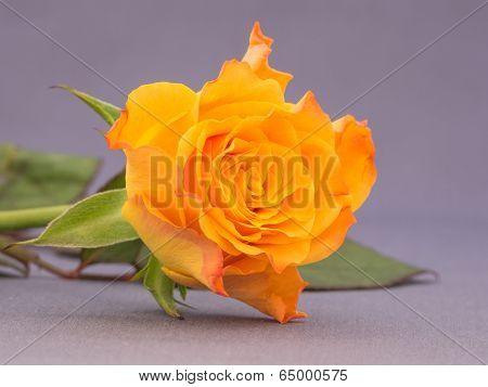 Close-up of an orange colored rose