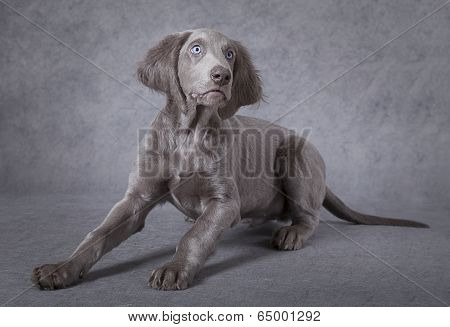 Portrait Of Weimaraner Puppy
