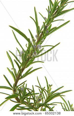 Rosemary Rosmarinus officinalis