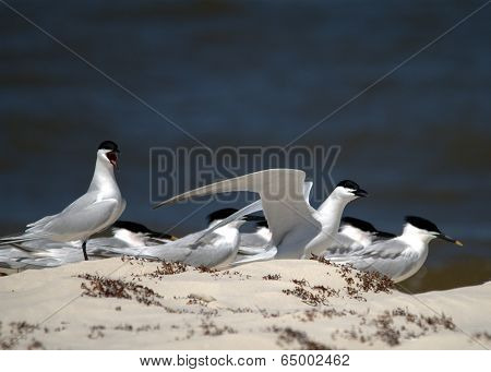 Sandwich Tern Group