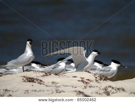 Sandwich Tern Group