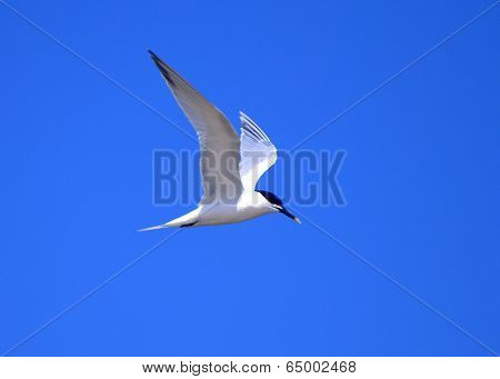 Sandwich Tern In Flight