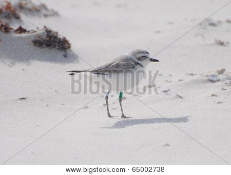 Banded Snowy Plover