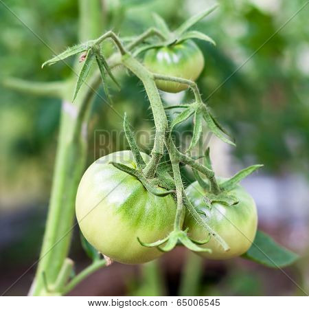 Green Tomato In Hothouse