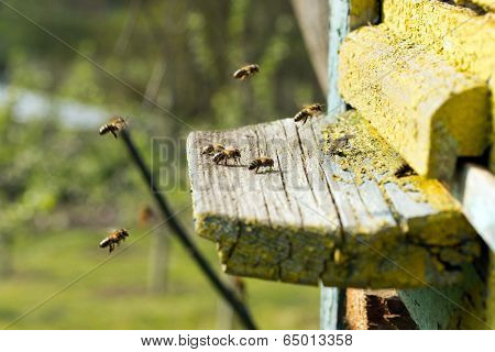 Swarm of bees in front of a bee-house