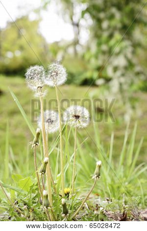 Closeup Of Dandelion Blowball In Wild Field